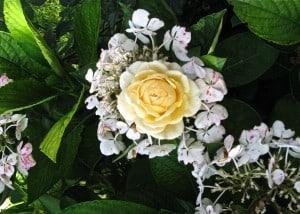 rose_hortensien
